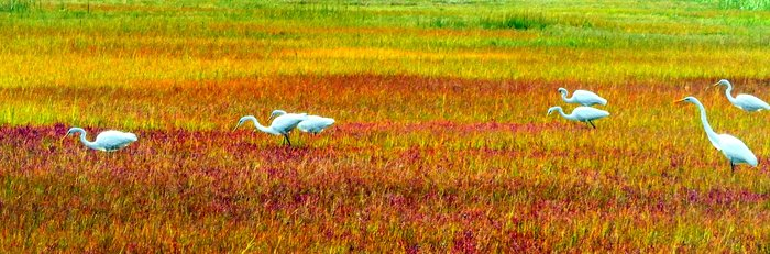 Egrets Picking for Breakfast in Marshland, by Paul Beckman